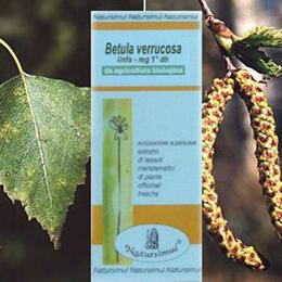 Betulla verrucosa linfa