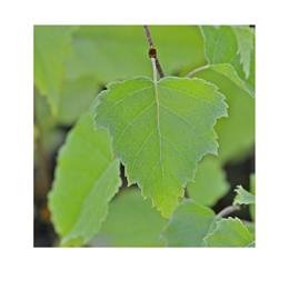 Betulla in foglie