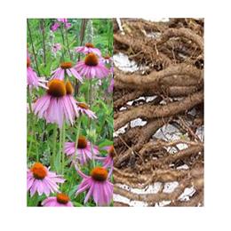 Echinacea radice