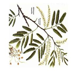 Mimosa tenuiflora in polvere uso esterno