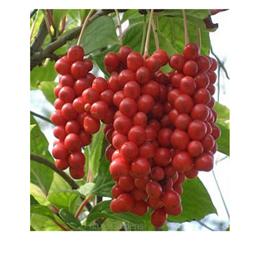 Schisandra in frutti interi