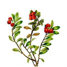 Uva ursina foglie in soluzione idroalcolica